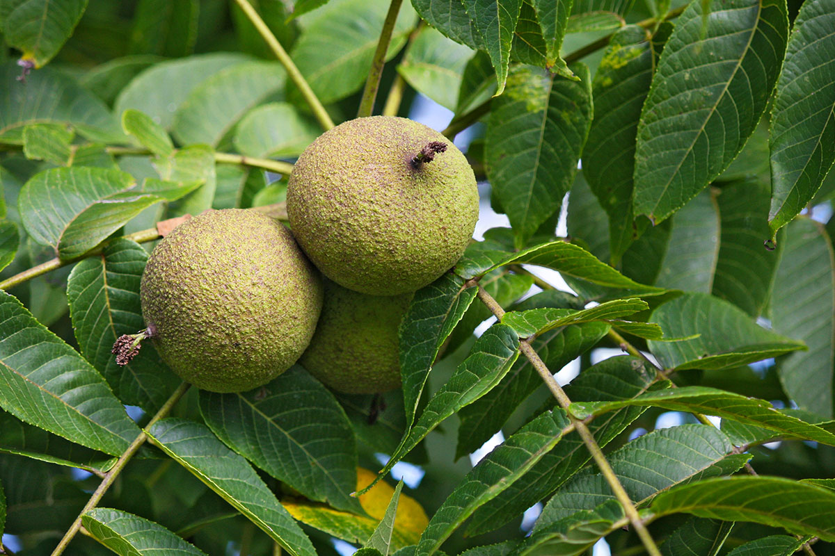 Walnut plant unattended in agriculture office