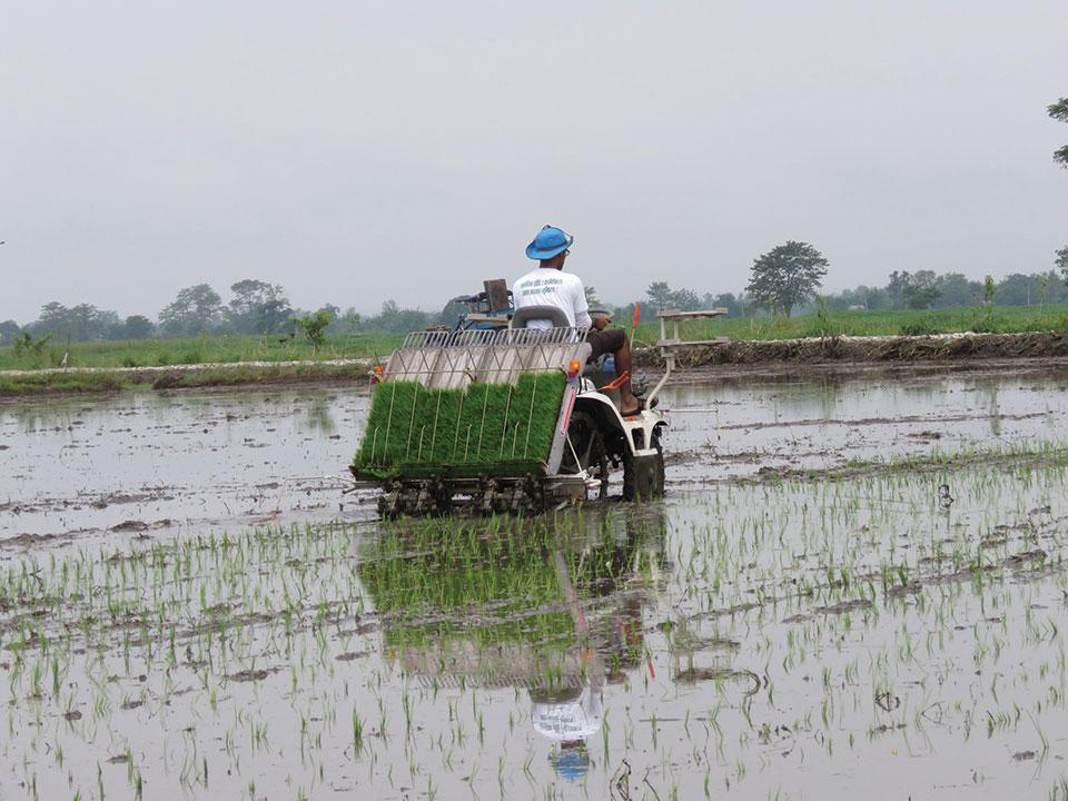 92 percent paddy transplantation in Chitwan